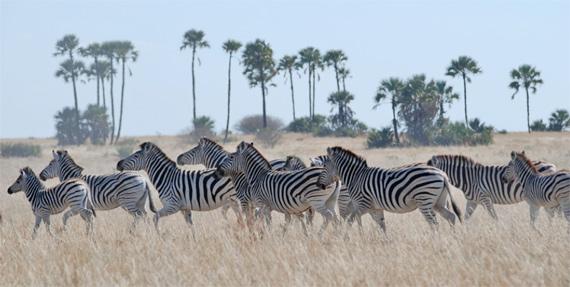 Zebra in the Makgadikgadi grasslands.