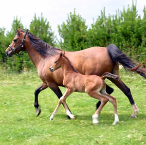 foal-mare-stock