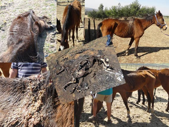 """The National Council of SPCAs in South Africa posted this """"overview"""" on its Facebook page in respect of a case involved former racehorses."""