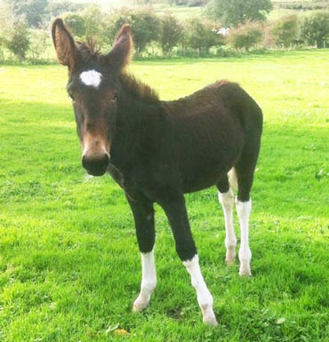 Lugs is now in the care of The Donkey Sanctuary after his mother was shot. Photo: The Donkey Sanctuary
