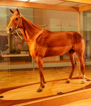 Phar Lap at Melbourne Museum.