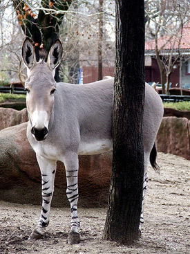 A Somali Wild Ass (Equus africanus somaliensis). Scientists have determined that the African wild ass is the living ancestor of the modern donkey.