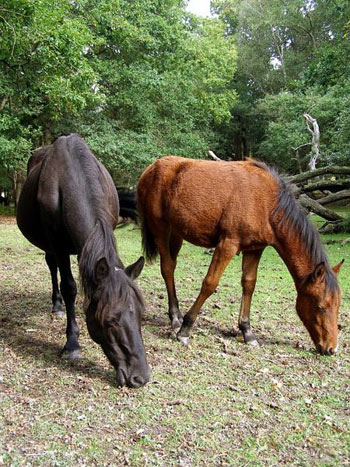 Ponies in the New Forest.