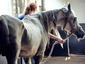 Some of the horses seized from a Texas property who are now in the care of the North Texas Humane Society.