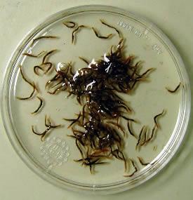 Adult Strongylus vulgaris, or bloodworms. © Martin Krarup Nielsen