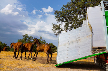 New home: The horses set off after being released in the Campanarios de Azaba Biological Reserve. Photo: Juan Carlos Muños Robredo / Rewilding Europe