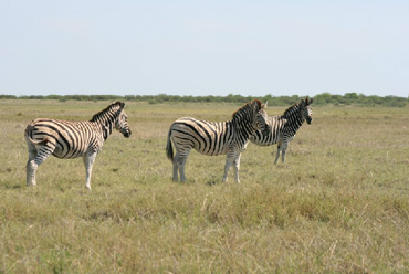 A 240km fence in northern Botswana has proved beneficial to zebra, research has found. Photo: Makgadikgadi Zebra Migration Research project