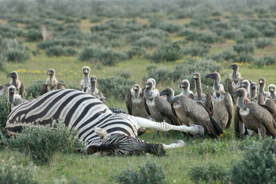 Vultures gather at a zebra carcass in Africa. Photo: Holly Ganz/UC Davis