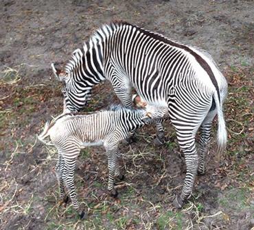Darasa tends to her new foal. Photo: Dan Dembiec, supervisor of mammals
