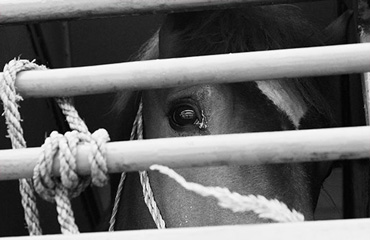 The revised Tripartite Agreement will provide protection to low-value horses, but border checks must undertaken, World Horse Welfare says. Photo: World Horse Welfare