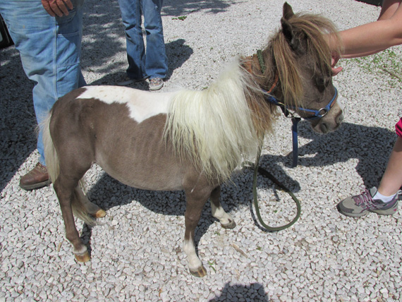 The seized ponies are now in the care of the Sullivan County Humane Society. Photos: Indiana State Police