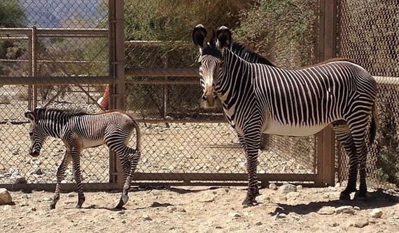 Natalia and her new colt foal at The Living Desert.