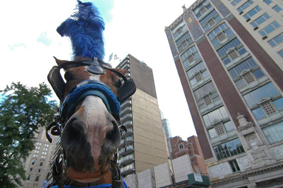 A carriage horse in New York City.