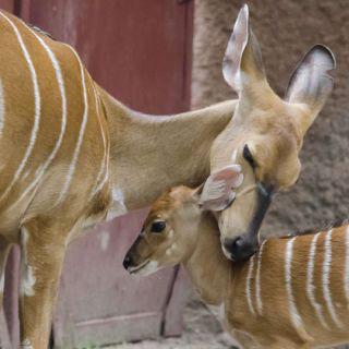 Esther, a lesser kudu calf, with her mum, Thelma.