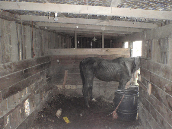 Danny B in his stall at the Halswell property where he was seized. Photo: RNZSPCA
