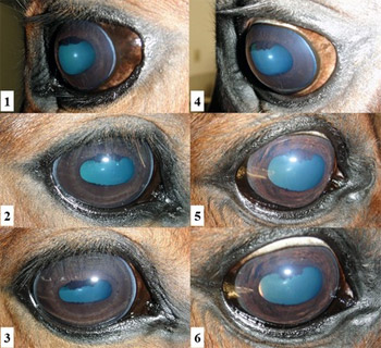 The pictures 1-3 on the left show normal corneal appearance; pictures 4-6 show  non-painful, mild, and diffuse stromal corneal opacity in affected-HERDA horses.