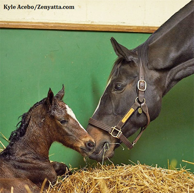 Zenyatta after the birth of Z Princess earlier this year.