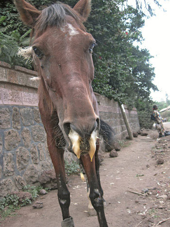 A horse suffering from African Horse Sickness.