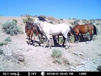 "Horse seen at a watering trough in the Bellehelen portion of the Reveille HMA. Some of the horses in the Reveille HMA are ""Stone Cabin Grays"". Photo: BLM"