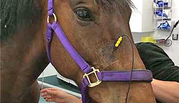 A horse receives the nerve stimulation treatment for headshaking.