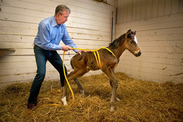 Dr John Madigan applies pressure to the foal to imitate the pressure from the birth canal.