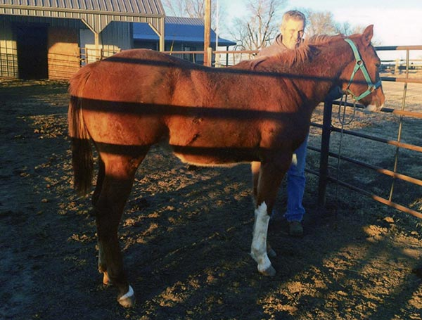 Spit Curl Heat, a 2014 sorrel colt by Spit  Curl Jess (QH) and out of Pure Corona Heat (QH), was originally  not eligible for APHA registration; under the new cropout guidelines, however, the colt's leg white  makes him eligible for the Regular Registry.