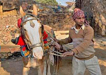 A horse prepares to be loaded with bricks in India. Photo: © Manpreet Romana/The Brooke