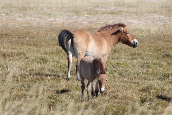 A Przewalski mare with her foal in the Mongolian Gobi desert.