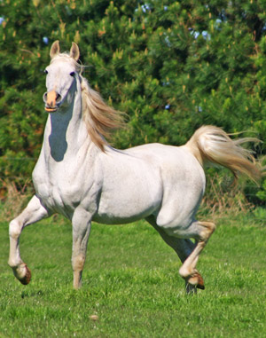 Aurora Stud's Silver Omen (Somerled x The Cameo Rose).