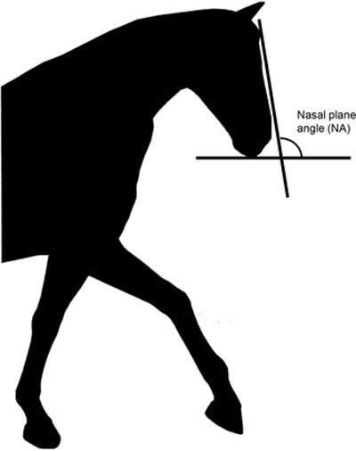 Original silhouette and nasal angle measurement.