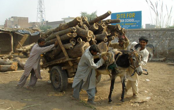 Equines haul most of the building materials in the developing world, like this donkey who is hauling timber in Pakistan