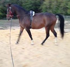 This horse became dysfunctional when side reins were added. He shortened his neck, lowering the trunk between the shoulder blades. He hollowed, arched and contracted the thoracic vertebrae, shifting the forelegs backward underneath himself.