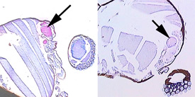 The picture at left is a microscope section through a midge that has been stained pink. The antibodies in the horse's blood have bound to the midge's salivary gland in the area next to the arrow. At right is a similar section treated with serum from a horse living in Iceland where midges do not occur. The saliva glands in this case are not stained pink, because horses never exposed to midge bites do not make antibodies to midge saliva proteins.