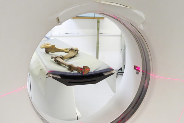 The quagga's sole hind leg was scanned in a CT scanner at the Royal Veterinary College so that a mirrored replica could be made. Photo: Nigel Larkin
