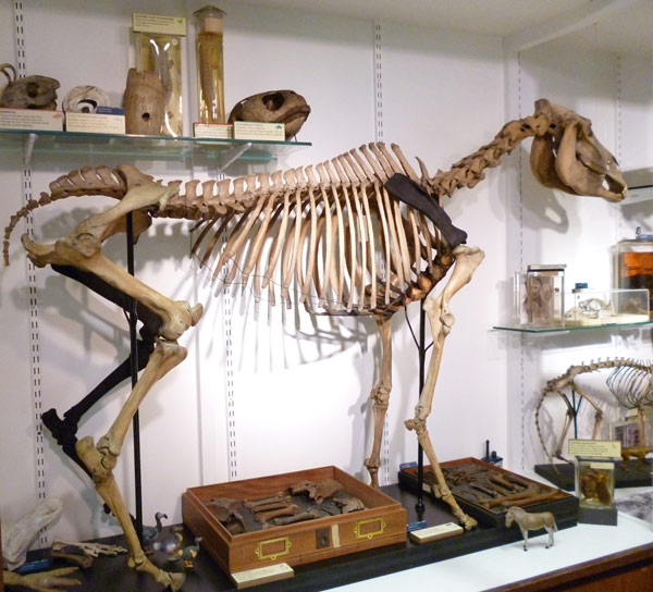 The freshly restored quagga skeleton, complete with its new hind limb, generated in nylon with a 3D printer. Photos: Grant Museum of Zoology/University College London