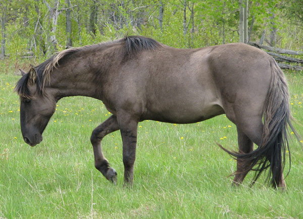 A purebred Sorraia stallion named Altamiro. Photo: Selona [CC BY 3.0 (http://creativecommons.org/licenses/by/3.0), via Wikimedia Commons