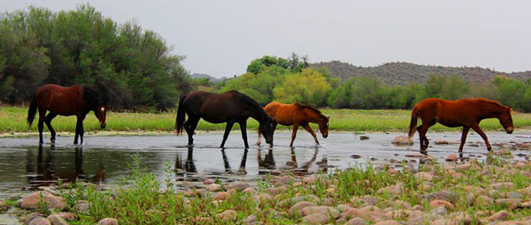 Horses are known to roamed the Salt River area for nearly a century. Photo: Salt River Wild Horse Management Group