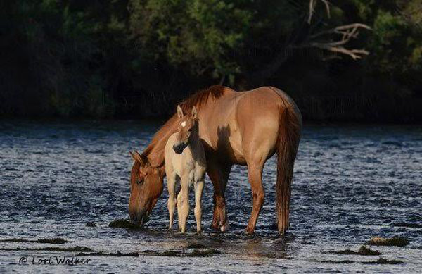 The river is central to the lives of the horses. Photos: Lori Walker