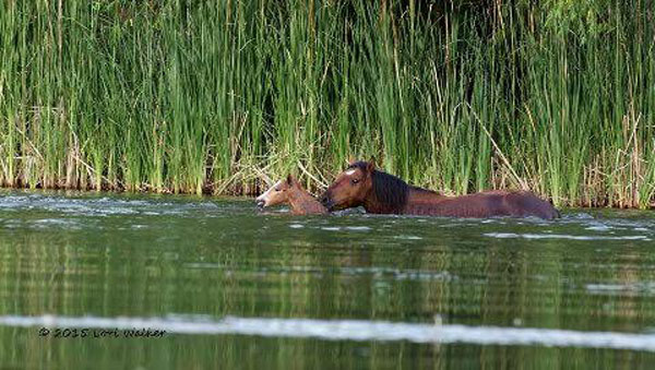 salt-river-horses-3