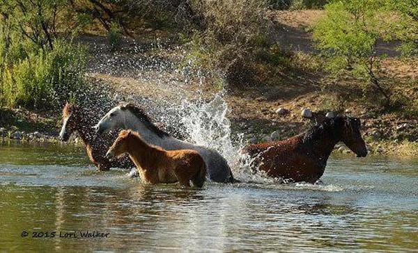 salt-river-horses-4
