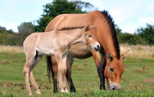 Port Lympne Reserve's new Przewalski's Horse foal.