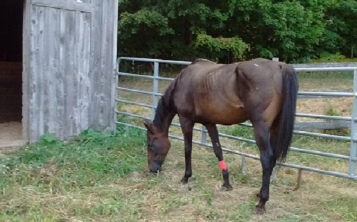 Morning Herald picking at some grass in his quarantine pen.