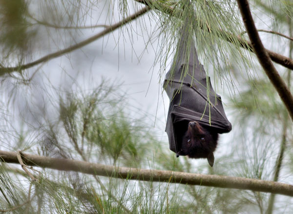 A black flying fox at rest, in Brisbane, Australia. Photo: James Niland [CC BY 2.0 http://creativecommons.org/licenses/by/2.0 Flickr via Wikimedia Commons
