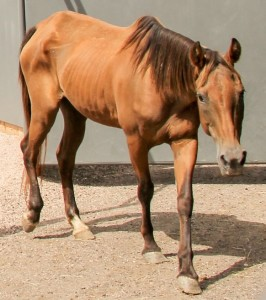 The horses from Texas were severely underweight. With proper feed, they have gained an average of 100 pounds each in the past month. Photo: Harmony Equine Center