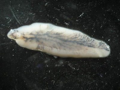 An adult liver fluke, Fasciola hepatica. Photo: I, Flukeman CC-BY-SA-3.0 via Wikimedia Commons
