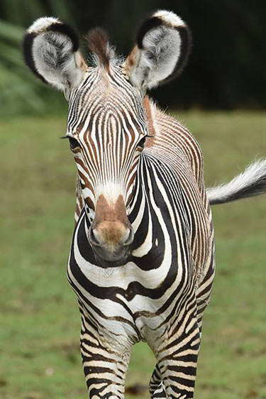 The Grevy's zebra colt foal born at Zoo Miami on October 18.