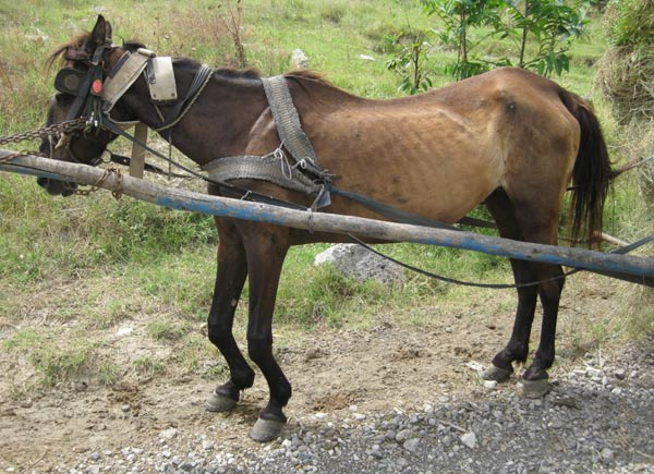 A crippled and underweight horse is forced to continue working in Romania.