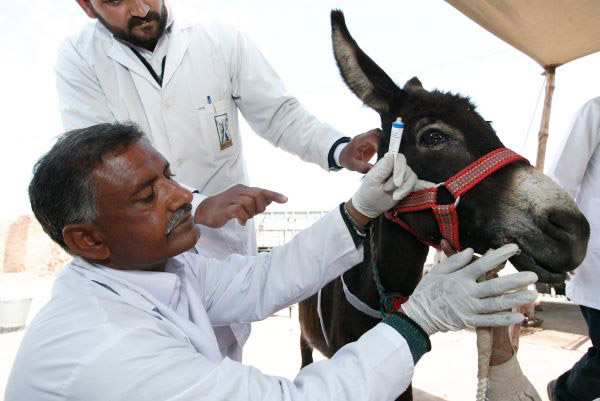 A virtual BrookeShop gift could buy medicines to stock a free veterinary clinic. Our highly skilled overseas veterinarians need lifesaving medicines so they can treat sick, wounded and injured horses, donkeys and mules in our static and mobile veterinary clinics. Our teams can help working animals for miles around, as well as pass on essential skills to their owners. And just $14 could buy a first-aid kit for an owner to provide on-the-spot care as soon as injuries occur.