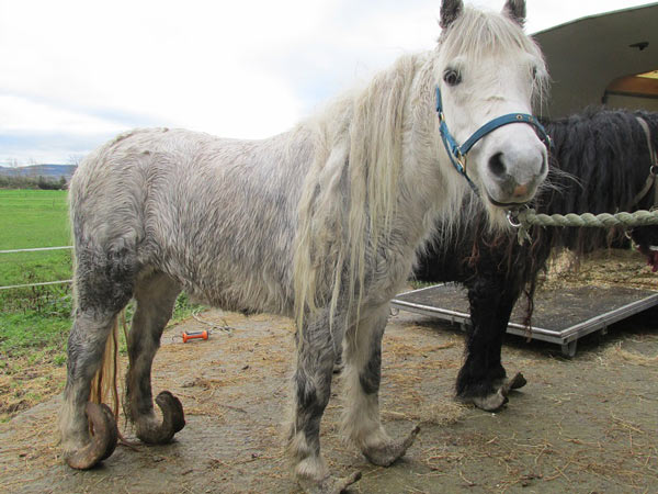 The Irish SPCA has taken two mares into care over the state of their feet. Photos: ISPCA