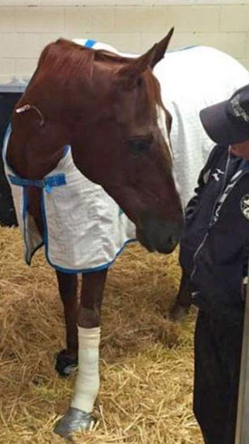 Red Cadeaux after surgery on his fractured sesamoid.